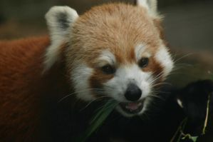 Red Panda by CapObvious94