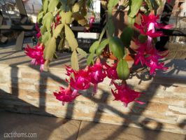 Beautiful weather, beautiful cactus by CactusThorns