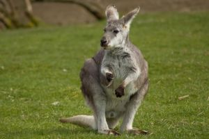 Wallaroo Standing Up by happeningstock