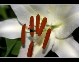 White Passion 1 by gors