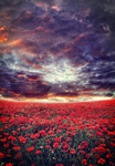 Poppy Field Meadow II ~ S T O C K by AStoKo by AStoKo