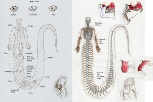 Nagah Serpentes anatomy 1 by Zanten