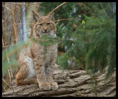 young lynx by morho