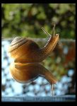Good Morning Snail by halcyonschism