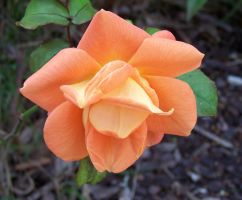 Rose Orange by henzunducks