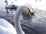 Mute Swan by DeathCults