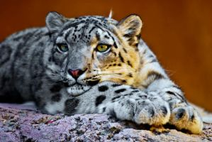 20071025-0825 Snow Leopard by Yellowstoned
