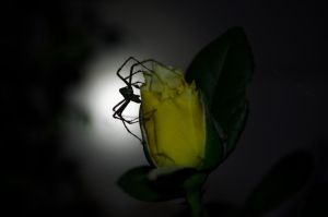 The Spider and the Rose by Nathan-Ruby
