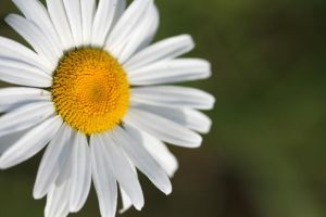 Ox-eyed daisy 1 by greyrowan