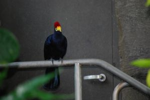 Turaco by ManitouWolf