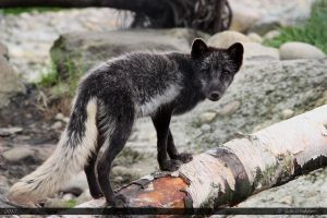 Arctic Fox 13 by Canisography