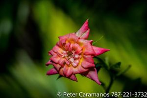 Miniature Pink Rose and a Vintage Lens by Caramanos2000