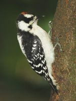 Downy Woodpecker by BirdyLee