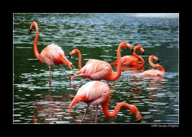 Flamingos by grugster