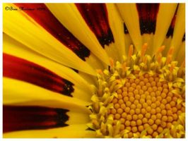 Gazania Macro by BreeSpawn