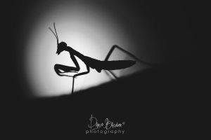 Baby mantis 2 by Bandur88