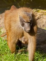 Guinea Baboon 02 - Sep 13 by mszafran