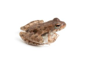 Cricket Frog by ribbonworm