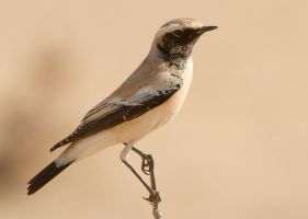 Topping up my tan- Desert Wheatear by Jamie-MacArthur