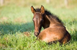 Week Old Andalusian Foal by Deirdre-T