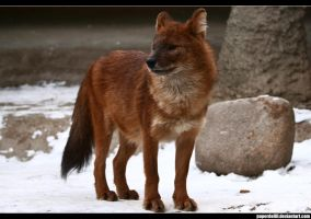 The Dhole 3 by PaPeRDoLLLL