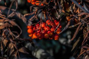 Mountain Ash by AdrianBukowski