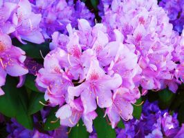 Rhododendron Bush by AppleBlossomGirl