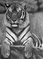 Siberian Tiger, pencil by Panthera11