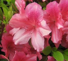 pale pink azalea 03 by CotyStock