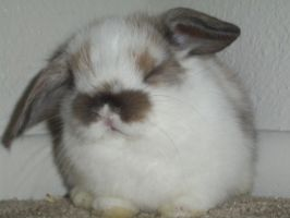 mini lop baby by ryliecat