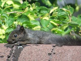 Sun tanning squirrel by lovelyxmiss