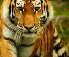 bronx zoo- tiger---- by idilsalihakuntuz