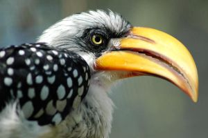 Southern Yellow Hornbill by danceafterdark