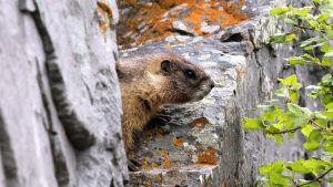 Y-Bellied Marmot Colorado 2 by artbor