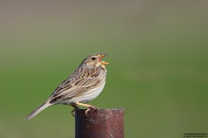 Emberiza calandra by RichardConstantinoff