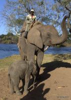 African Elephant Safari 3 by lenslady
