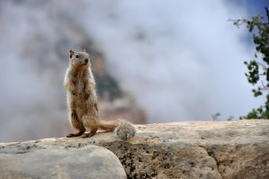 Rock squirrel at Grand Canyon by Zavitala