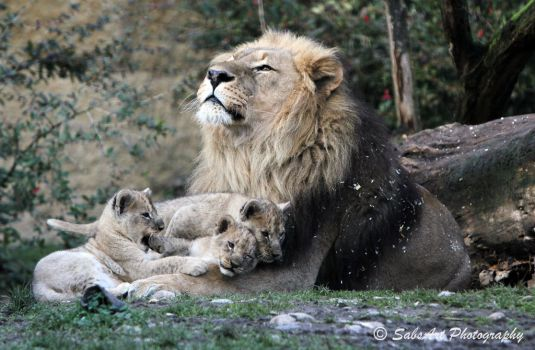 Little lion boys and their father by SabsArt