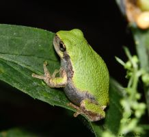Yup...Here's another Tree Frog by natureguy