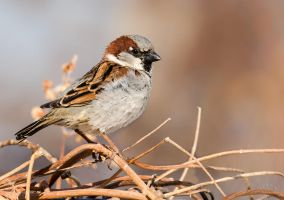 Male House Sparrow - Spring colors by JestePhotography