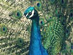 Peacock by divafica