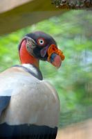 King Vulture by prettyflour