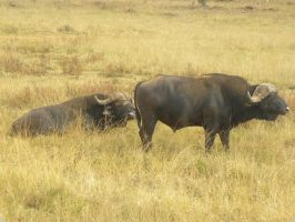 African buffaloes by RiverKpocc