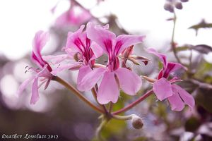 Pink Flowers by t3hsilentone