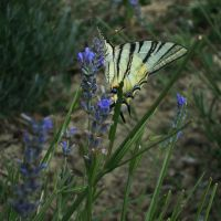Papilio machaon by aerendial