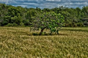 Tree in a field by forgottenson1