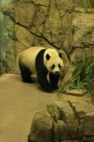 Panda Stock1 by NHuval-stock