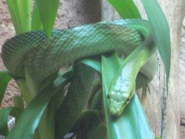 Rat snake by Skrillexia-TF