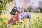 Pelle the Dachshund by Sorance
