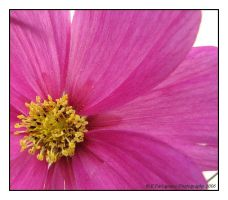 Cosmos by picworth1000wrds